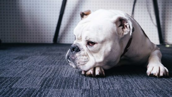 Dog on carpet - how to remove dog hair off carpets